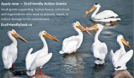 EcoFriendly Sask promo ad pelicans